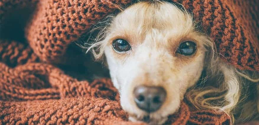 Small, long-haired dog wrapped in a knit blanket