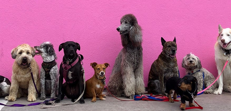 10 dogs of all shapes and sizes standing up against a hot pink wall.