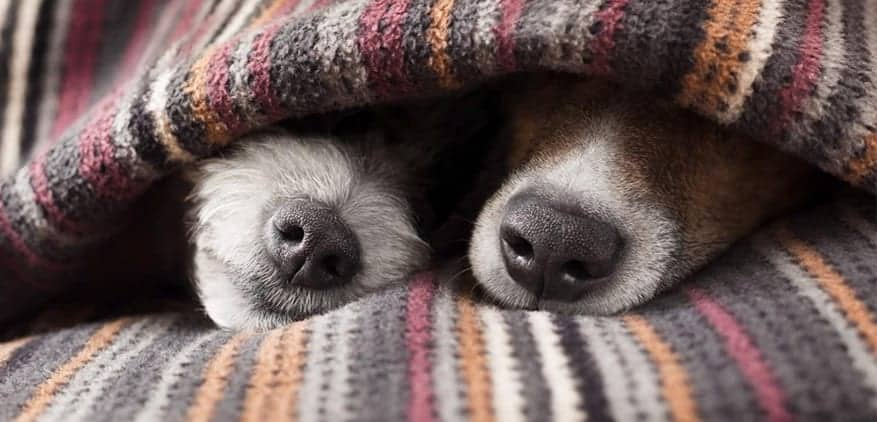 Two dogs underneath a blanket with only their noses showing.