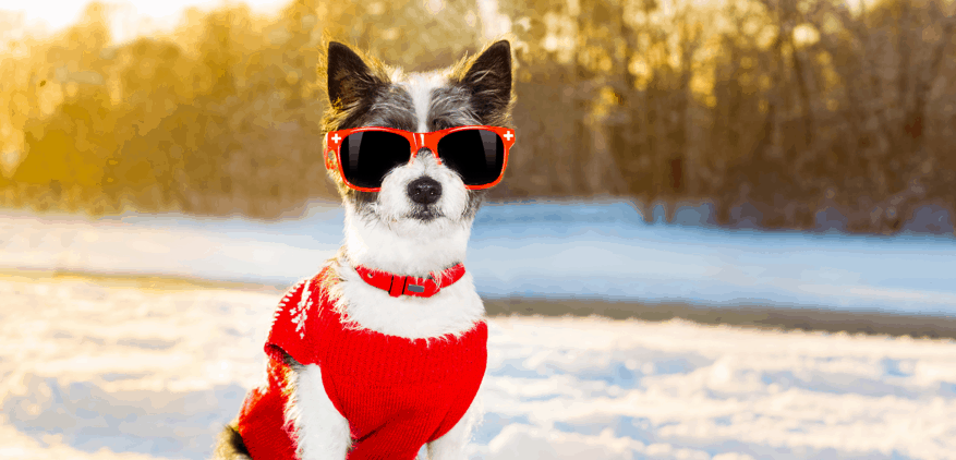 Dog wearing a red sweater and sunglasses.