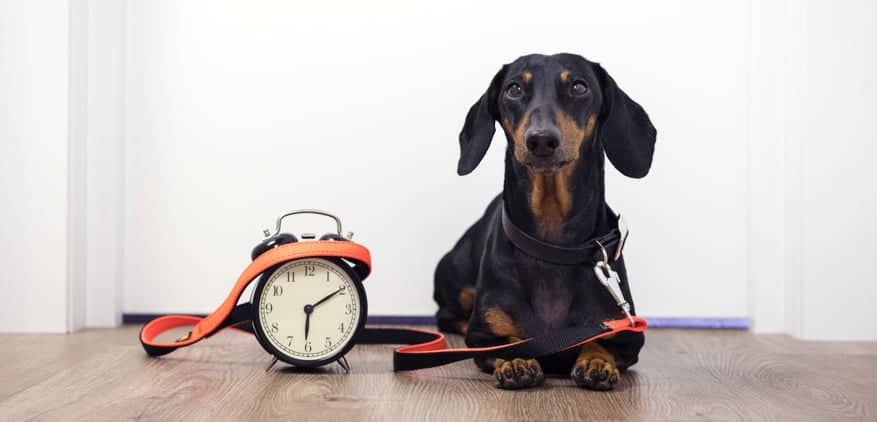 Small dog waiting next to a clock and leash for their scheduled pet sitting appointment
