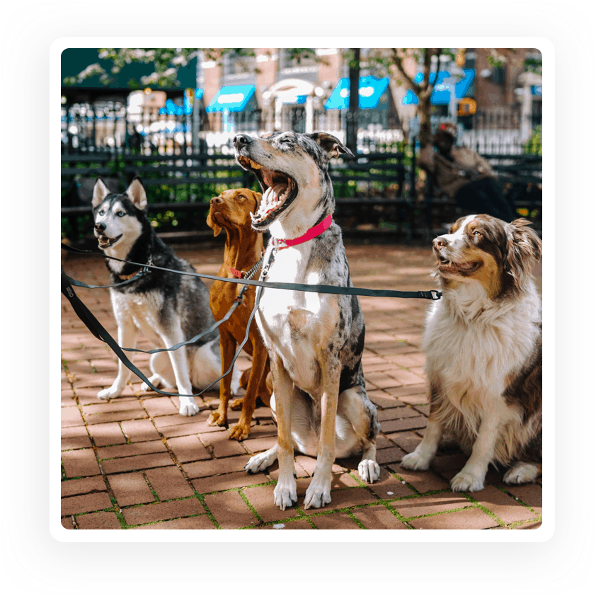 Dogs posing for a dog walker